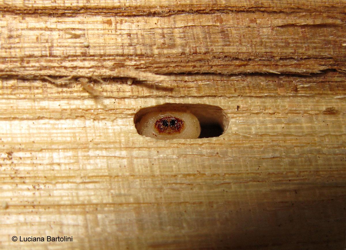 Come eliminare le tarme dal legno affordable acari del - Trattamento per tarlo dei mobili ...