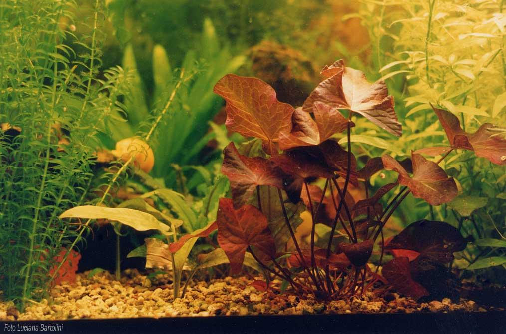Piante e fiori in acquario for Acquario per pesci rossi usato