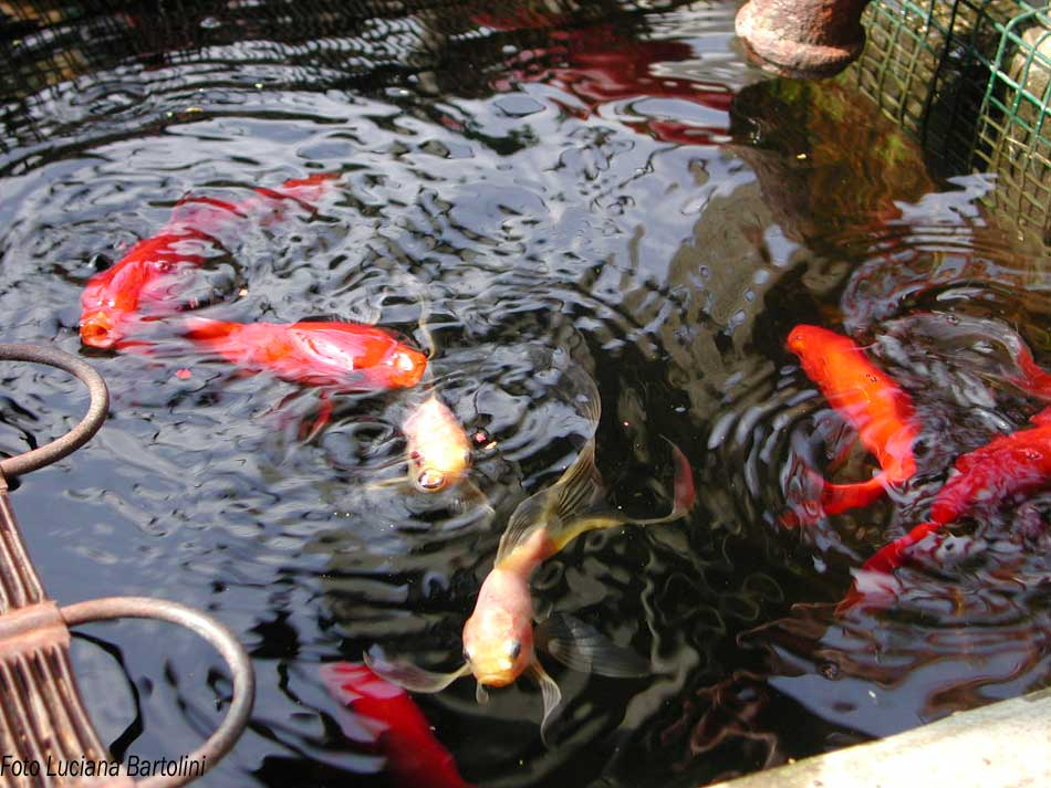 vasca per pesci rossi all 39 aperto