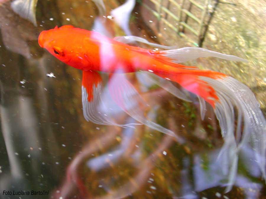 Vasca per pesci rossi all 39 aperto for Piscina per pesci rossi
