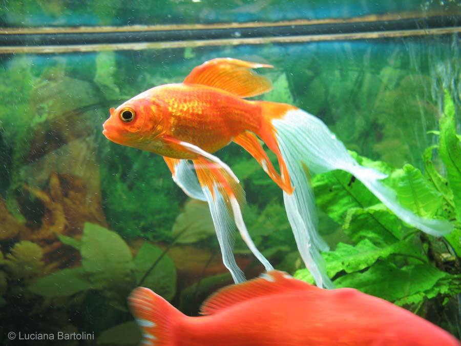 acquario per pesci rossi