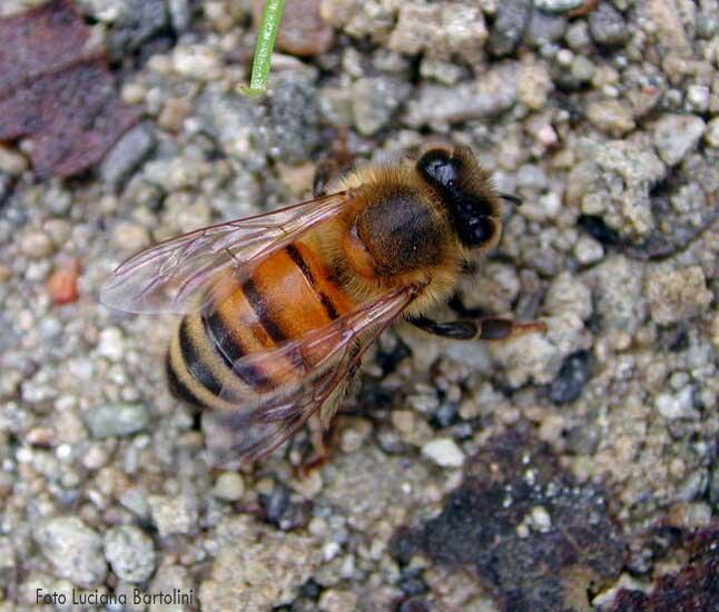 Ho un trauma pazzesco le api ora c 39 un ape in casa mia e non so cosa fare perch sono sola - Nido api finestra ...