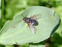 Calliphoridae sp.