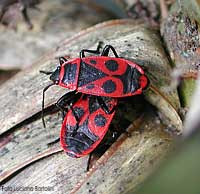 Due Pyrrhocoris apterus