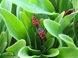 Pyrrhocoris apterus in accoppiamento