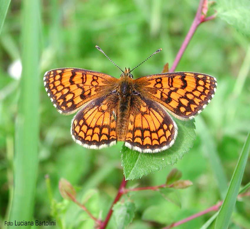 Farfalle colorate hesperiidae ninfalidi satiridi for Foto farfalle colorate
