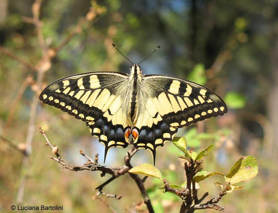 Farfalle dai colori chiari papilionidi e pieridi - Colorazione dei bruchi ...
