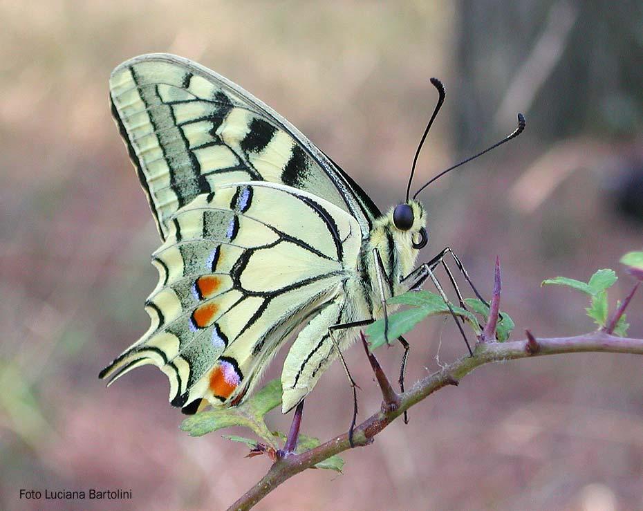 Farfalle dai colori chiari papilionidi e pieridi - Immagini di farfalle a colori ...