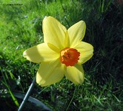 fiori gialli 7 lettere