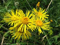 fiore dell'asteracee inula sp.