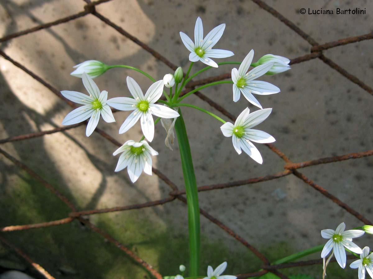 Indice alfabetico delle piante e fiori presenti nel sito for Nomi di fiori bianchi