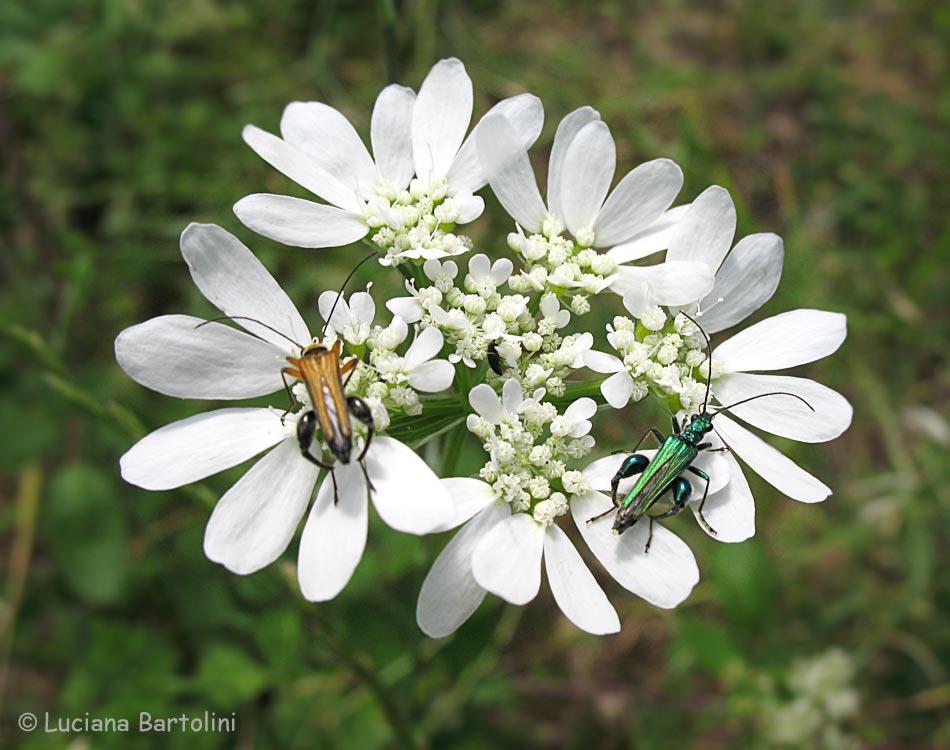 Orlaia grandiflora for Fiori con la p