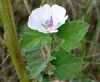 Althaea officinalis - Bismalva