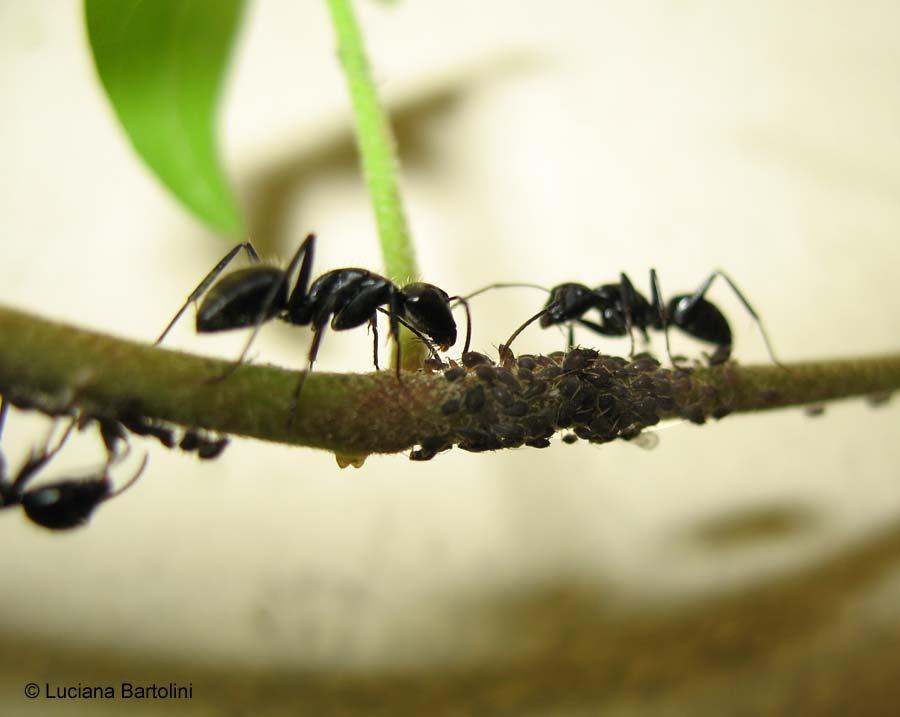 Formiche e afidi for Debellare formiche