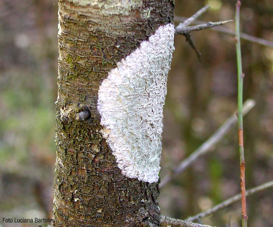 Piante Artificiali : Licheni delle piante difetti e malattie