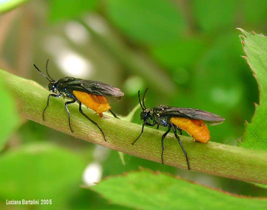 Arge pagana - Colorazione dei bruchi ...