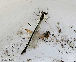 Coenagrion puella – femmina