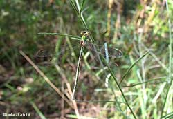 Lestes  barbarus - femmina