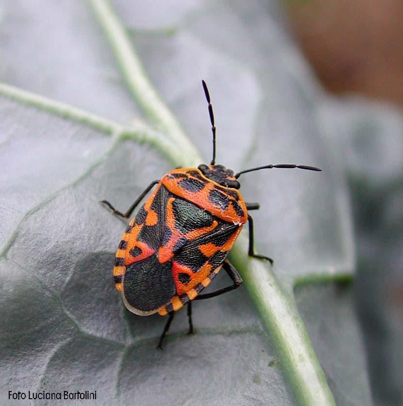 Eurydema ventralis la cimice rossa e nera nemica del cavolo for Cimici nere