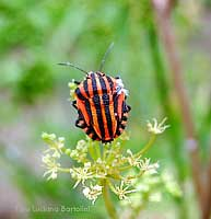 Graphosoma italico in estate inoltrata