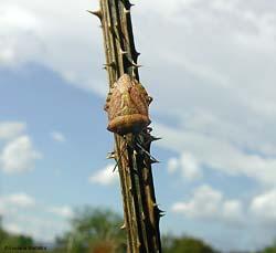 Pentatomidae plataspididae pleidae psyllidae pyrrhocoridae for Cimice marrone