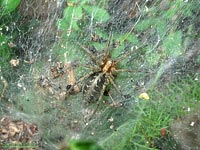 Agelena labyrinthica