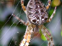 Araneus diadematus color cioccolato