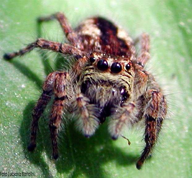Ragni salticidae i ragni saltatori - Immagini del ragno da stampare ...