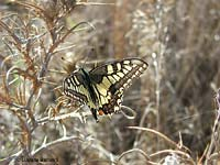 Farfalla Papilio machaon
