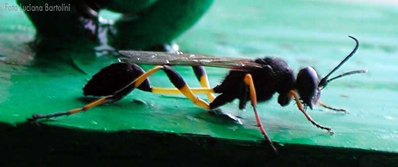 La storia della vespa vasaio - Nido api finestra ...