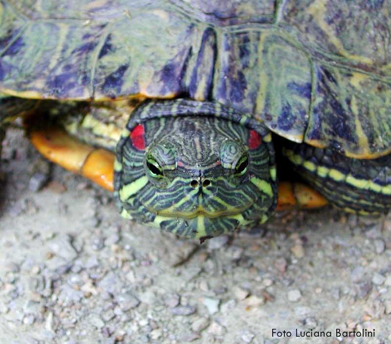 Altri animali serpenti lucertole geco lumache ricci for Tartaruga orecchie rosse prezzo