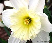 fiore giallo 11 lettere