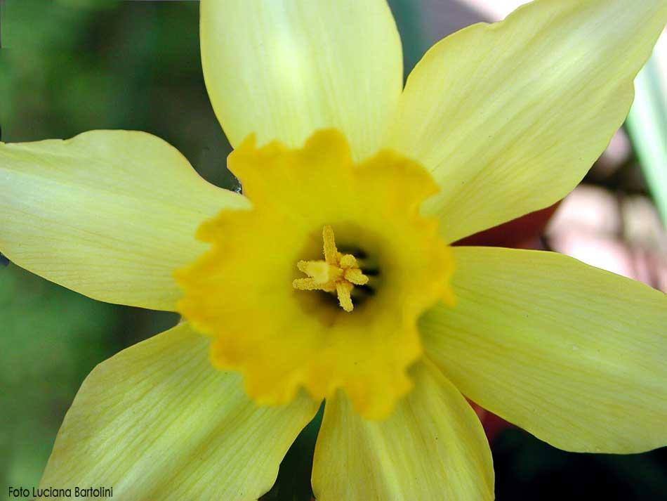 Fiori famiglie che iniziano con la lettera a b c d for Narciso giallo