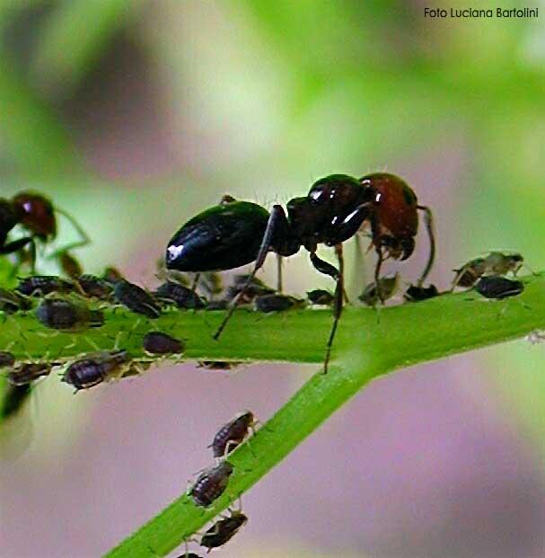 Mondo delle formiche visto da vicino con foto e video for Debellare formiche