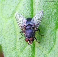 Moscone - Calliphoridae sp.