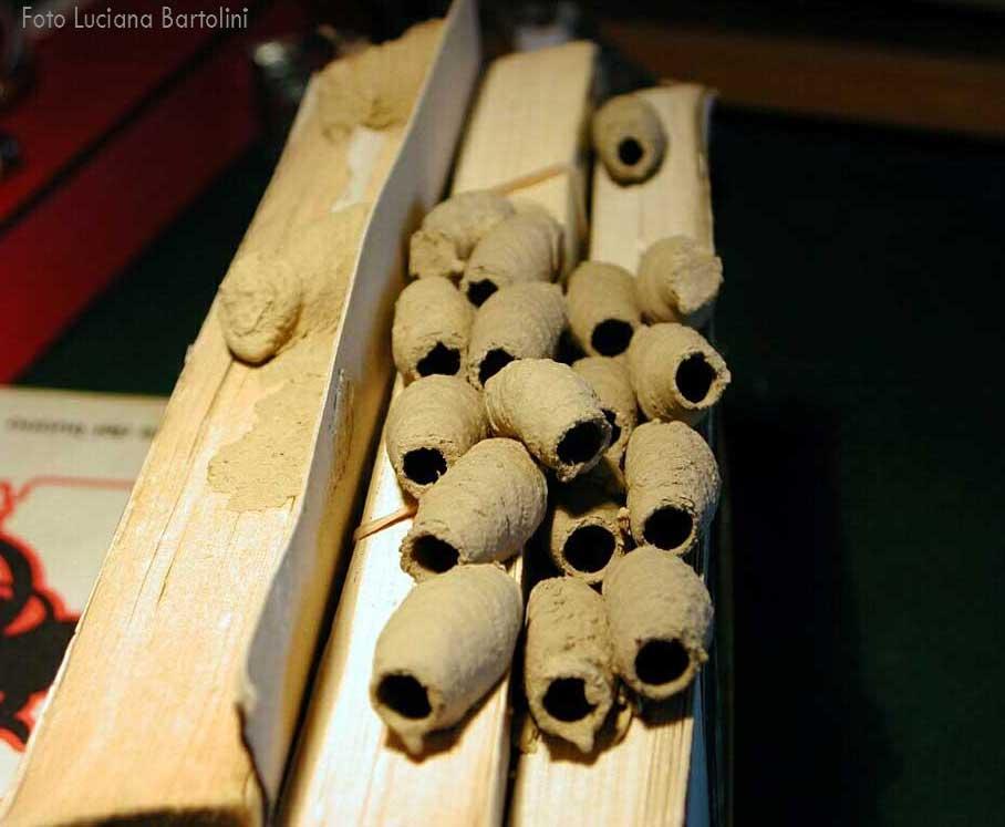 Capsule di sceliphron e larva di dermestidae forum for Disegni di case dei caraibi