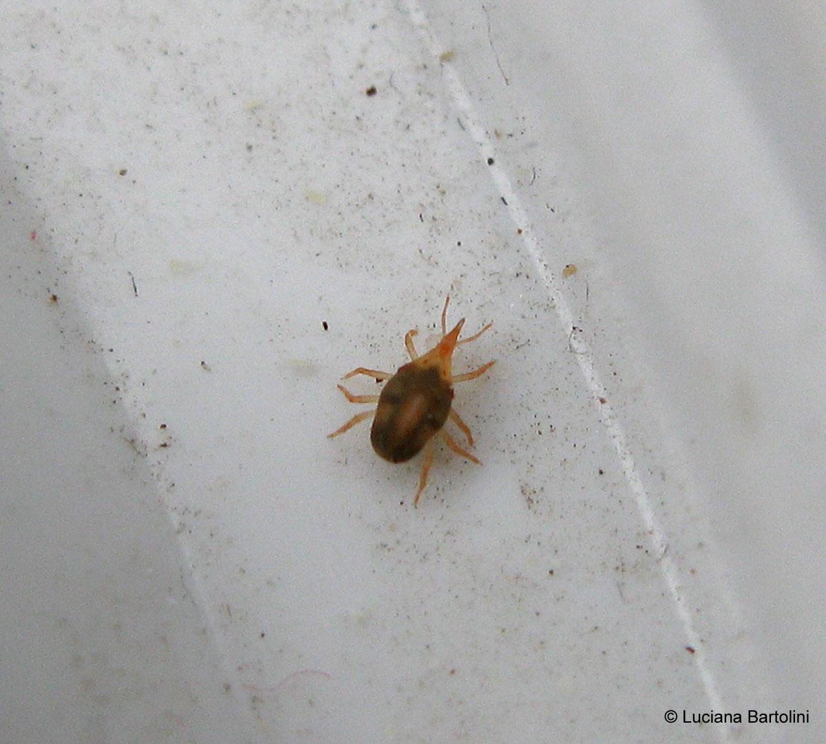 Gli aracnidi alla classe arachnida appartengono gli acari for Acari polvere