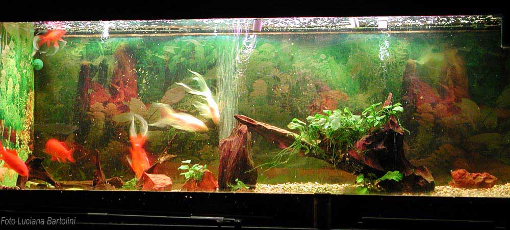 Acquario per pesci rossi for Acquario per pesci