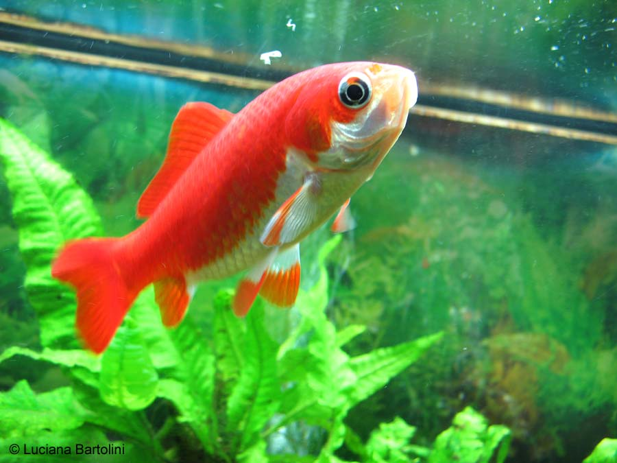Acquario per pesci rossi for Immagini da colorare di pesci