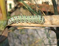 Papilio machaon bruco