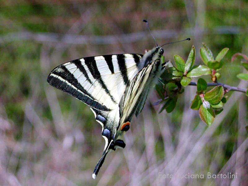 Farfalle dai colori chiari papilionidi e pieridi for Immagini farfalle per desktop