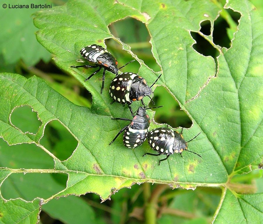 Nezara viridula la cimice verde delle piante - Cimice del pomodoro ...