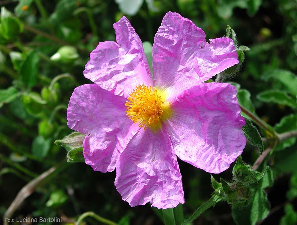 Fiori 5 Petali Rosa.Cistacee Cisto